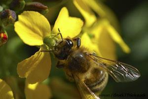 honey-bee